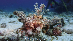 Mr Handsome. Estuary Stonefish by Jonny Haugstad